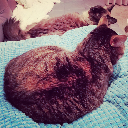 image of Matilda the Fuzzy Sealpoint Cat lying on the couch and Sophie the Torbie Cat lying on a pillow beside her, closer to the camera