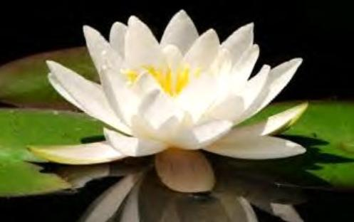 Brendas Texas Wild Garden The Beautiful Lotus Blossom Is The