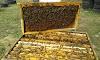 Τα δυνατότερα μελισσοκομικά Φυτά του Σεπτεμβρίου: Δίνουν πολύ γύρη και μέλι στα μελίσσια!!!