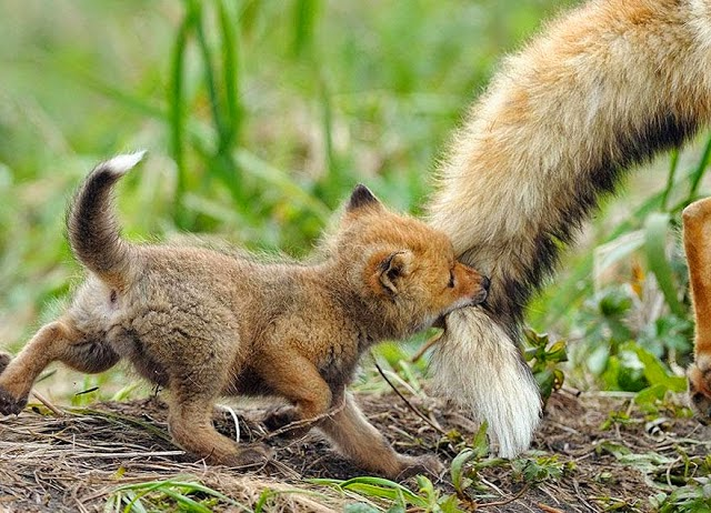 6. These 11 Photos Will Make You Fall In Love With Foxes