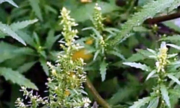 Mastruz (Chenopodium ambrosioides L.)