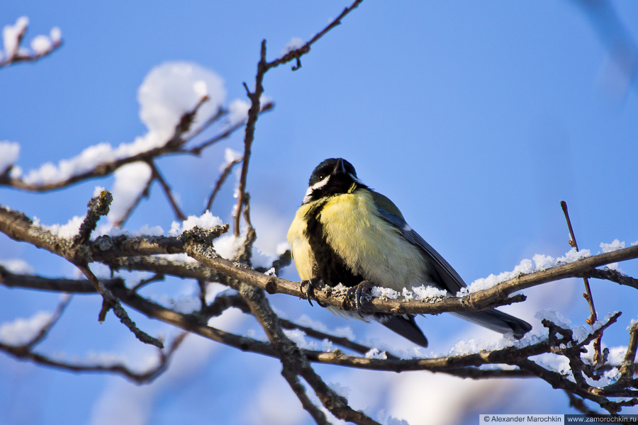 Большая синица | Parus major | Great tit