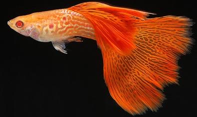 Harga Ikan Guppy Redlace Snakeskin Tahun 2016 - 2017