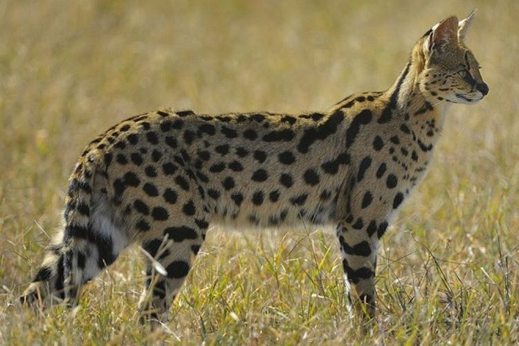 Evcilleştirilen ilk kediler, Afrika'da yaşayan vahşi bir ırktır.
