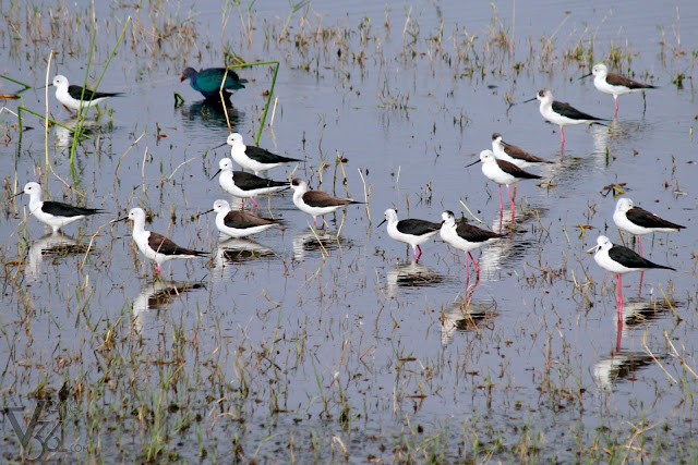 A colony of Black-winged Stilt