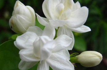 Dalam dunia tanaman hias bunga melati digolongkan menjadi beberapa klassifikasi yang haru Seputar Manfaat Bunga Melati Yang Perlu Diketahui