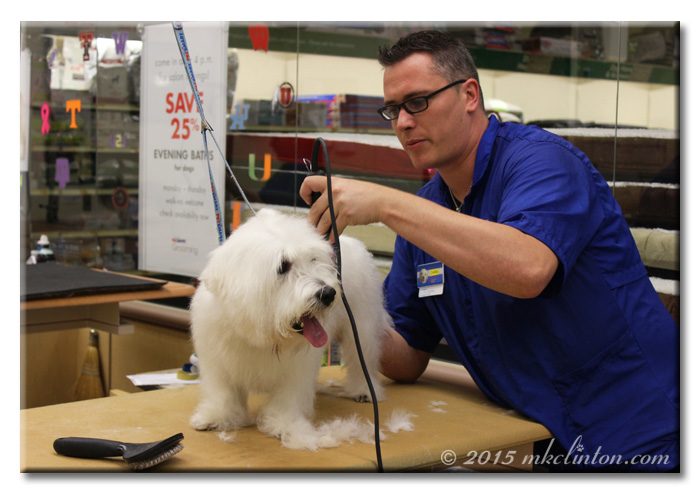 Groomer shaving Pierre Westie's back