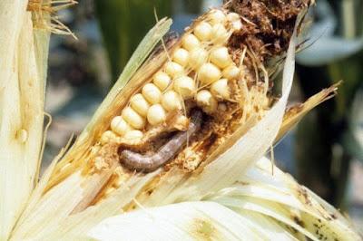 Image - Sâu keo mùa thu đe dọa mùa màng ở châu