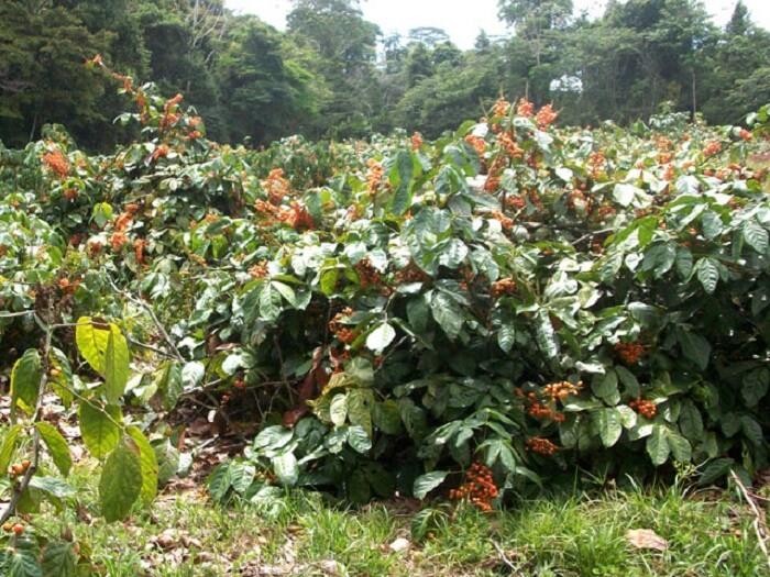 Guarana Tree