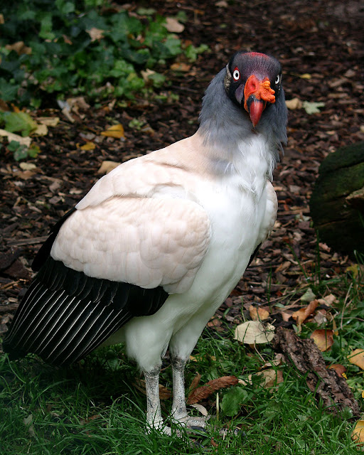 King vulture, Zoologischer Garten, Zoological Garden, Hamburg