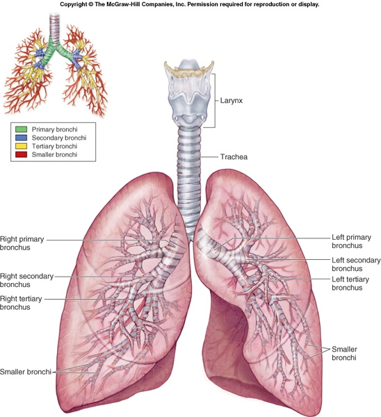nose is the primary the primary bronchi main primary bronchiSecondary Bronchi Labeled