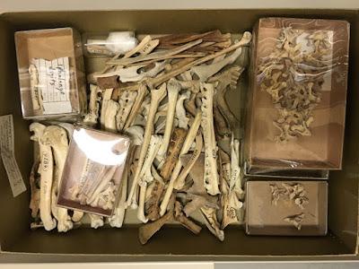 extinct bird great auk bones