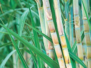 Ethanol Making directly from sugarcane juice