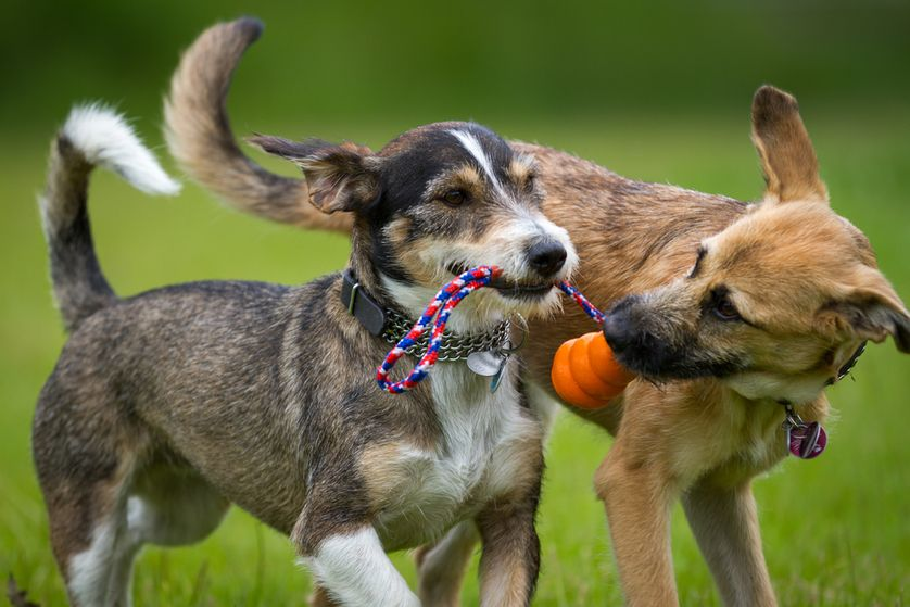 Dogs-playing-tug-of-war