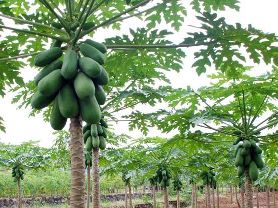 mitos tentang pohon dan buah pepaya jdsk