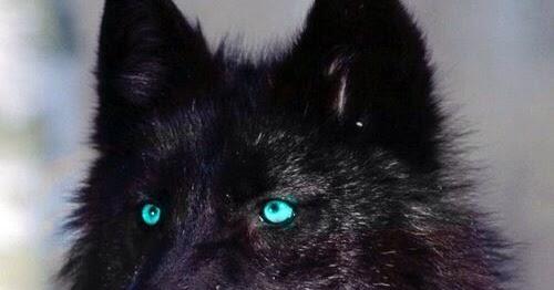 fotograf as sobre moda flores belleza animal y de la naturaleza lobo negro con los ojos azules. Black Bedroom Furniture Sets. Home Design Ideas