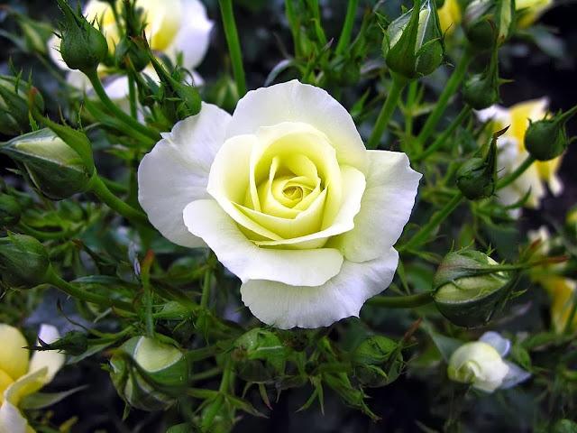 Image result for mawar putih