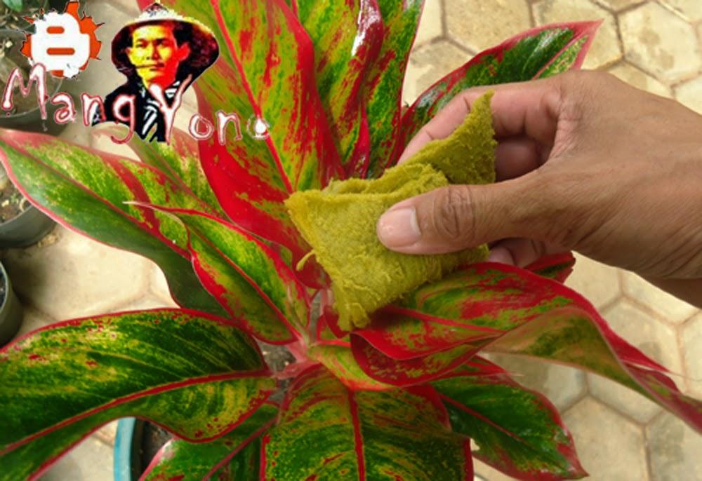 Cara Merawat Daun Tanaman Bunga Aglaonema Agar Terlihat Indah