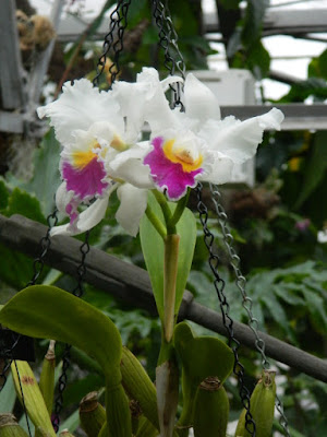 White and purple Cattleya at Allan Gardens Conservatory by garden muses-not another Toronto gardening blog