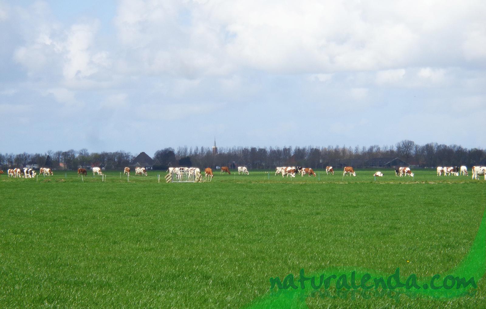 vacas Holanda
