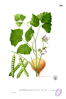 a batata é usada como diurético associada a limonada