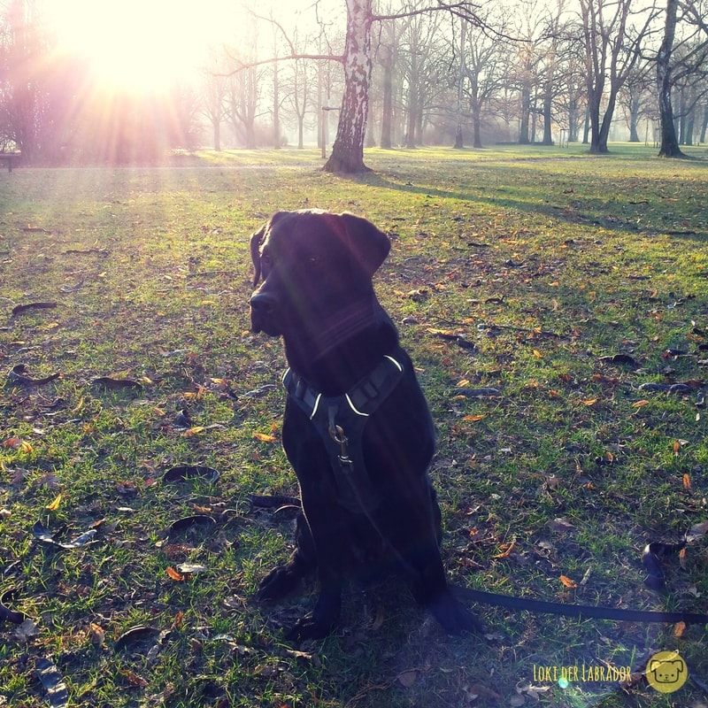 Schwarzer Labrador im Park
