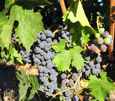 Grapes from Doce Robles Vineyard, Paso Robles, © B. Radisavljevic
