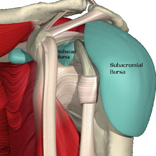 paragon physiotherapy anatomy of the shoulder