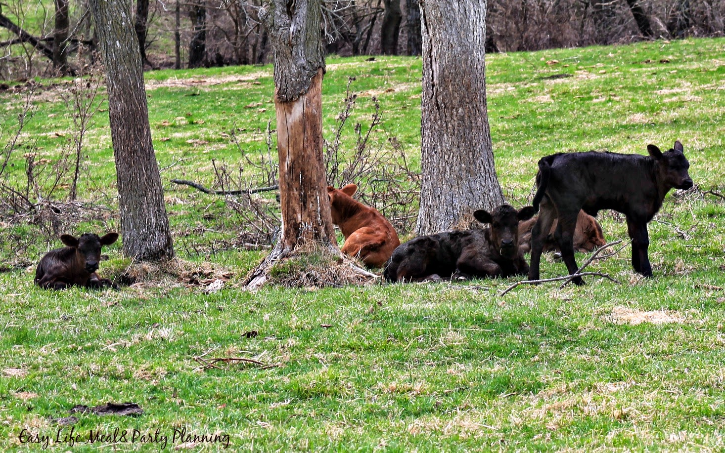 Easter on the Farm baby calves - Easy Life Meal & Party Planning