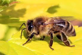 Bagaimana Lebah Membuat Madu? Ini Jawabannya!