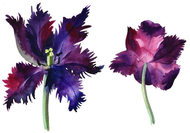 Black Parrot tulip, watercolor, Olga Begak, art, illustration, artist, flower, nature, botanical