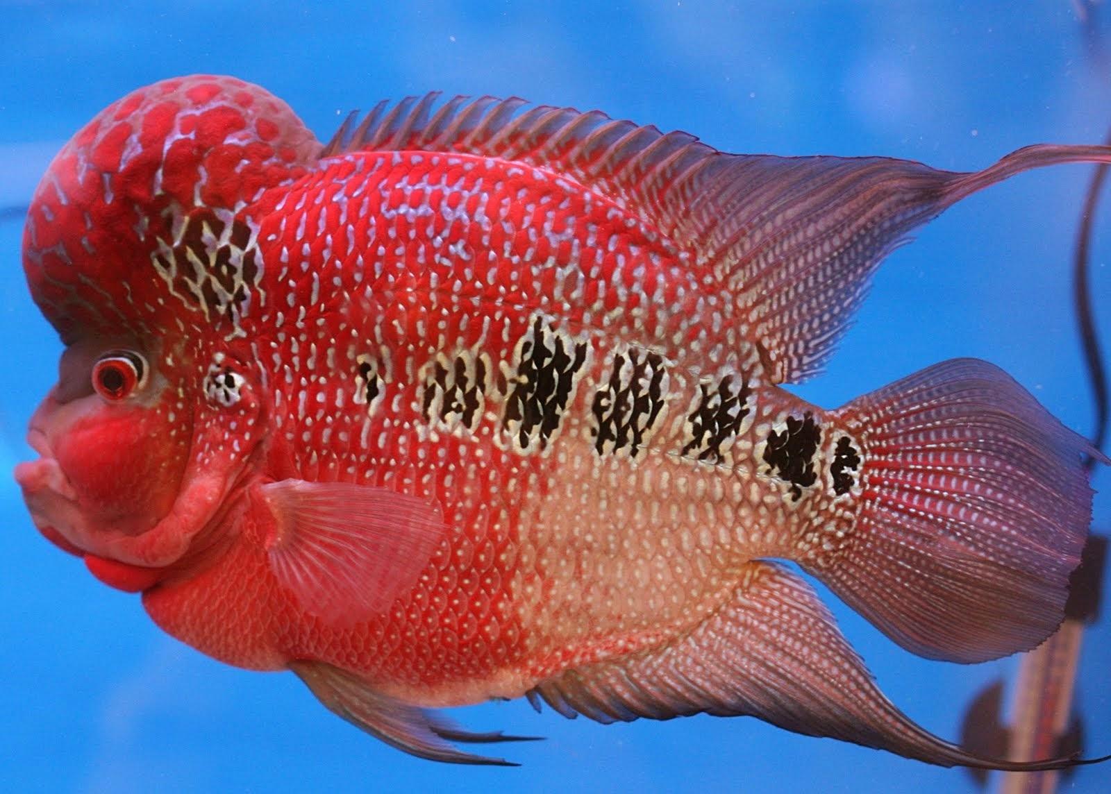 perawatan ikan louhan
