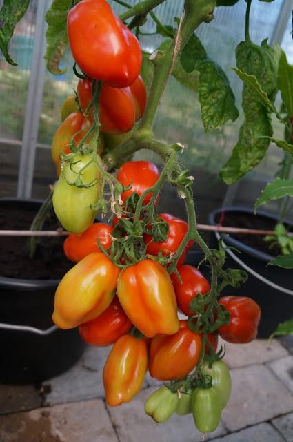 tomater i klase