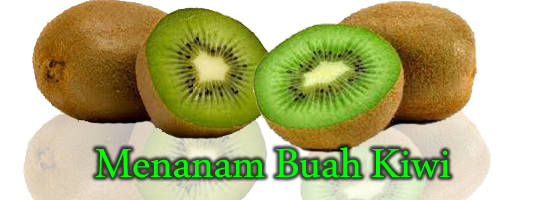 buah kiwi, menanam buah kiwi, manfaat buah kiwi bagi kesehatan