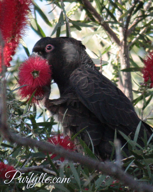 pink eye rings identify this black cockatoo as male