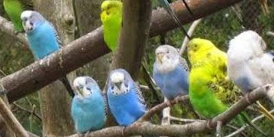 8 Cara Ampuh Untuk Memilih Burung Parkit Yang Bagus