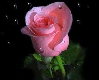 Mawar%2BPink%2B%2528Merah%2BMuda%2529  7 Arti Warna Pada Bunga Mawar