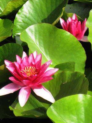 Two pink waterlilies among floating green leaves