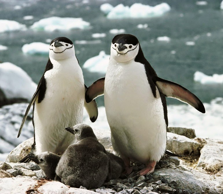 Birds of the World: Chinstrap penguin
