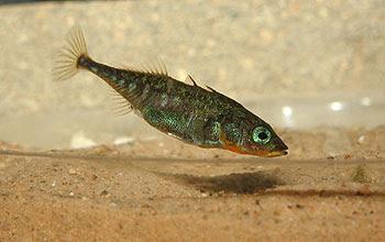 สัตว์สุดยอดคุณพ่อ, ปลาสติ๊กเกิลแบ็ก (Stickleback Fish)