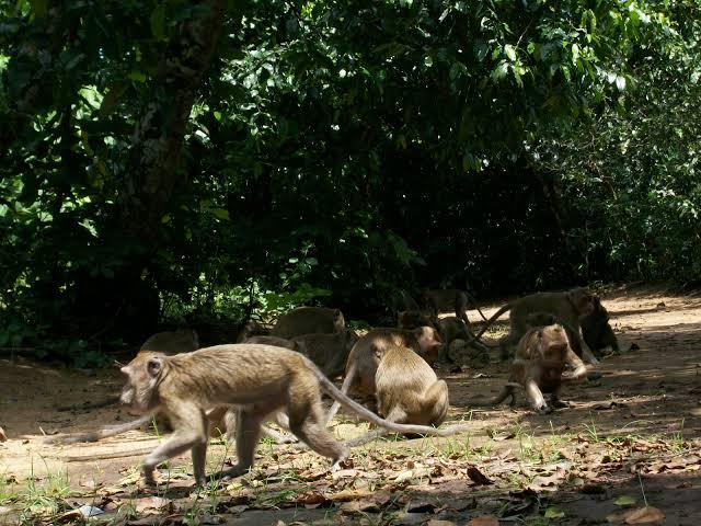 Ilustrasi monyet.