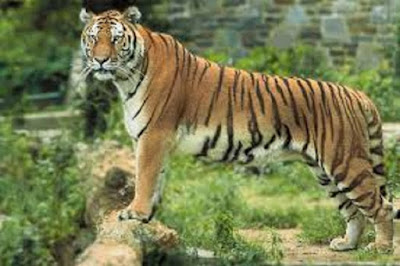 Harimau Bengala Panthera tigris bengalensis - berbagaireviews.com