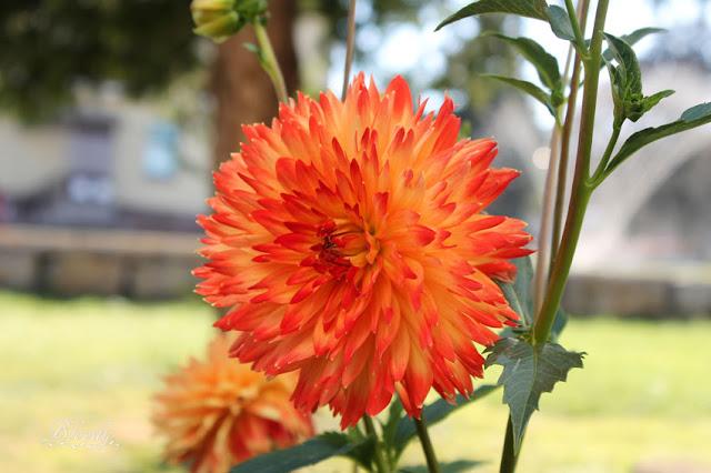 Orangefarbene Dahlie mit roten Spitzen