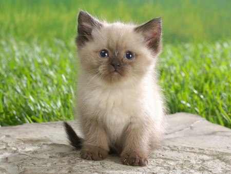 Cat in the world: Himalayan Persian cats