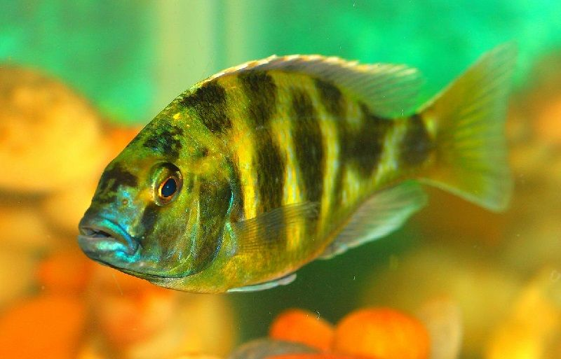Gambar jenis jenis ikan cichlid ( Malawi Cichlids ) - Venustus ( Nimbochromis venustus )
