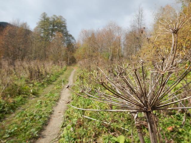 Осень, тропа, борщевик