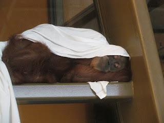 Orangutan in the Indianapolis Zoo