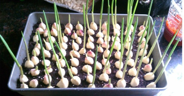 How To Grow Your Own Endless Supply Of Garlic At Home