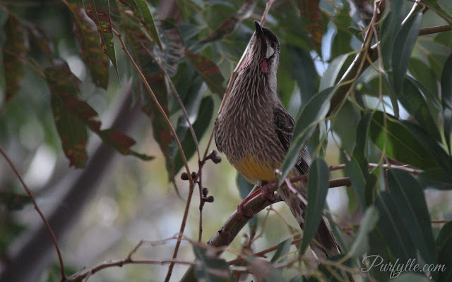 unedited image of wattlebird