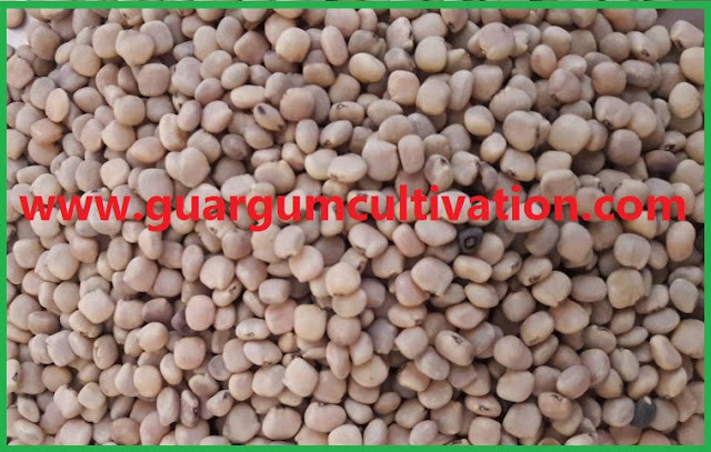 Arrival of guar seed is not increasing in peak arrival period, Guar, guar gum, Guar gum price, Guar gum export,  guar gum news, NCDEX guar gum price, Guar gum report, guar seed production, guar gum consultant, guar seed export, guar gum export from india 2017-2018 , guar, guar gum, guar gum news, Guar gum export-2017-2018, Guar gum export-from India during 2017-2018, Guar gum export data -2017-2018, Guar gum rate , NCDEX guar gum price,  guar gum export-2017, guar gum export-2018, guar gum demand-2017, guar gum demand-2018, guar gum production, guar gum cultivation, guar gum cultivation consultancy, Guar, guar gum, guar price, guar gum price, guar demand, guar gum demand guar seed production, guar seed stock, guar seed consumption, guar gum cultivation, guar gum cultivation in india, Guar gum farming, guar gum export from india, Fundamentally Guar seed and guar gum are very strong , Guar, guar gum, guar price, guar gum price, guar demand, guar gum demand, guar seed production, guar seed stock, guar seed consumption, guar gum cultivation, guar gum cultivation in india, Guar gum farming, guar gum export from india , guar seed export, guar gum export, guar gum farming, guar gum cultivation consultancy, today guar price, today guar gum price, ग्वार, ग्वार गम, ग्वार मांग, ग्वार गम निर्यात 2018-2019, ग्वार गम निर्यात -2019, ग्वार उत्पादन, ग्वार कीमत, ग्वार गम मांग, Guar Gum